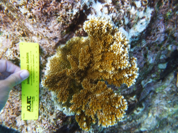 Elkhorn-coral-measure-600x448.png