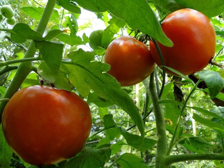 tomatoes-101845_960_720