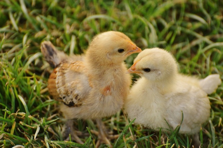 chicks-1572370_960_720