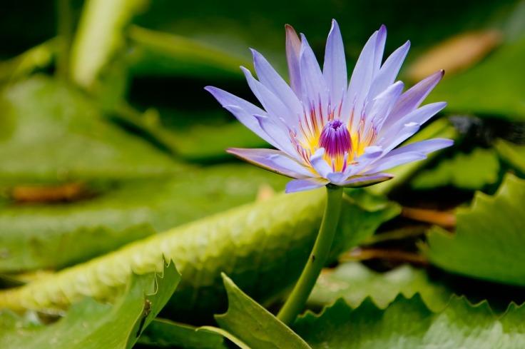 lotus-2824909_960_720
