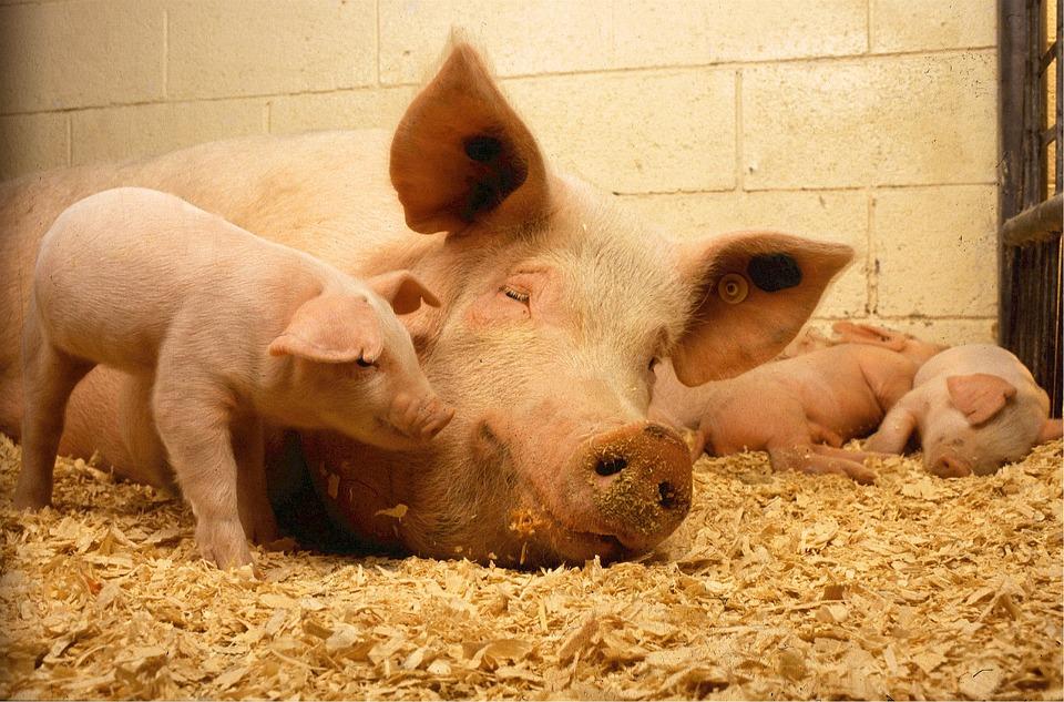 pigs-520896_960_720