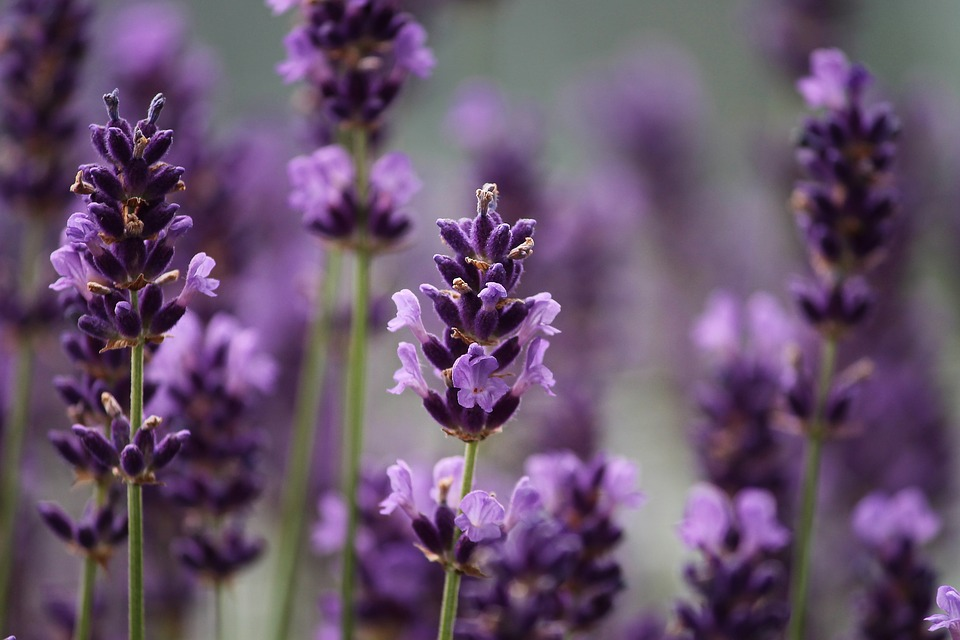 lavender-3479492_960_720